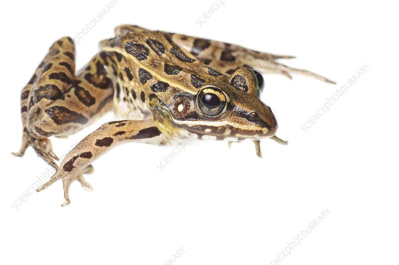 Southern leopard frog Florida, USA