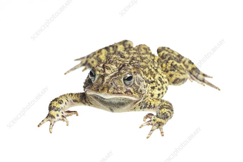 Southern toad Florida, USA