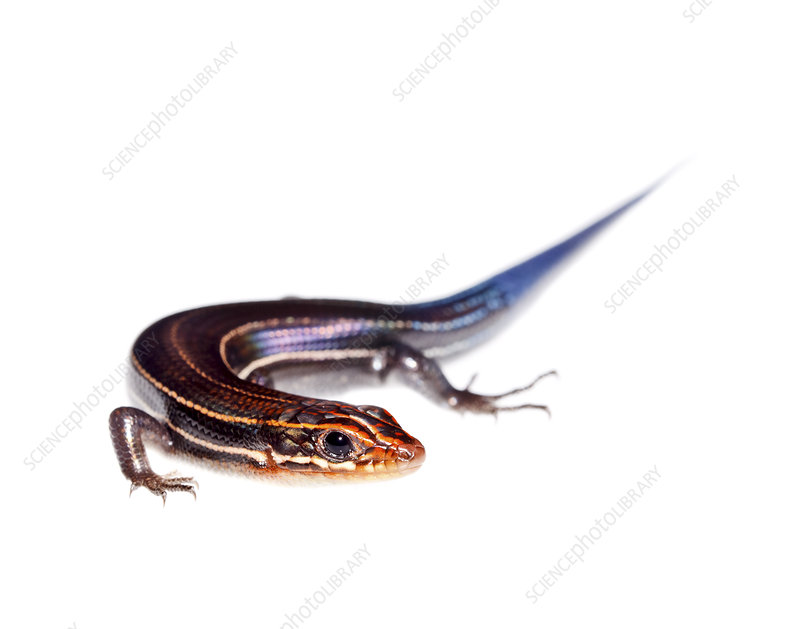 Southeastern five lined skink Florida, USA