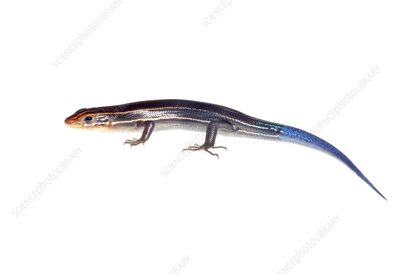 Southeastern five-lined skink Florida, USA