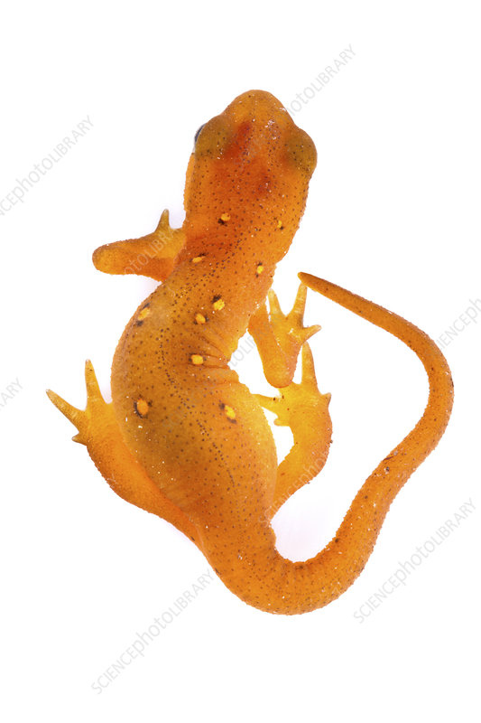 Red spotted newt juvenile, dorsal view