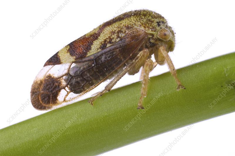 Treehopper Concord, Massachusetts, USA