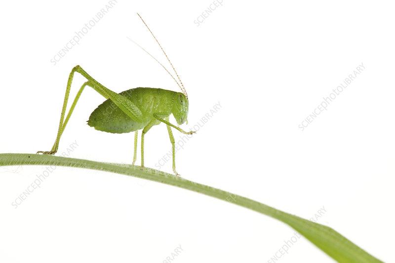 Green Katydid on green leaf, Woburn, Massachusetts, USA