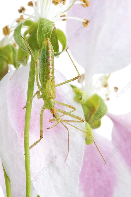 Assassin bug on flower stalk, Concord, Massachusetts, USA