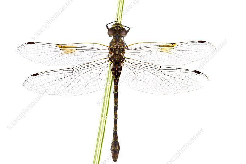 Dragonfly at rest, Woburn, Massachusetts, USA