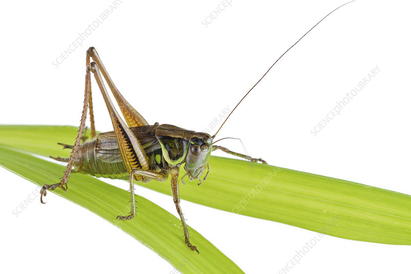 Roesel's bush cricket male on blade of grass