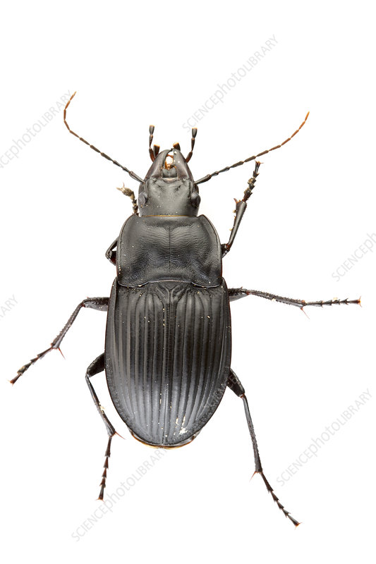 Notched mouth ground beetle dorsal view, USA