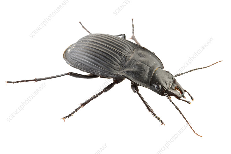 Notched mouth ground beetle USA