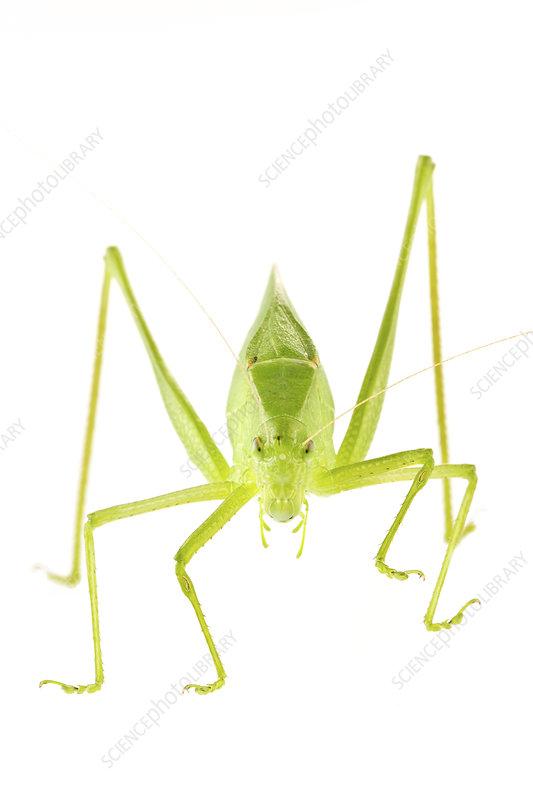 Oblong winged katydid
