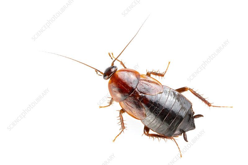 Cockroach dorsal view, USA