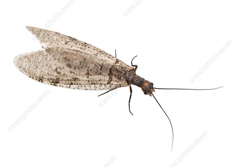 grey fishfly dorsal view, St Michaels, Maryland, USA