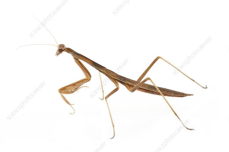 Praying mantis profile, St Michaels, Maryland, USA