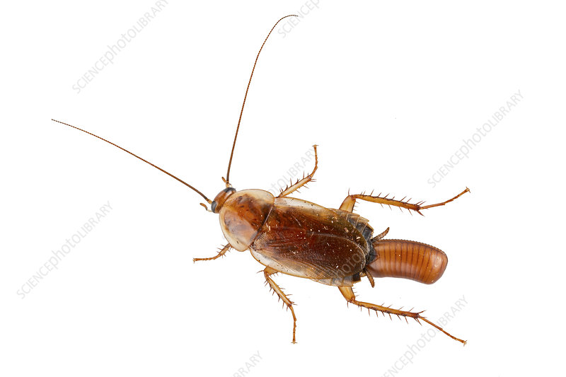 Wood cockroach dorsal view of female with eggcase