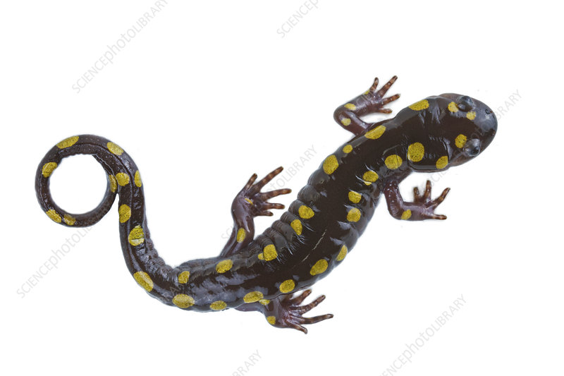 Spotted salamander from a vernal pool