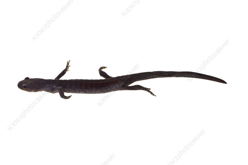Jefferson salamander swimming, from a vernal pool