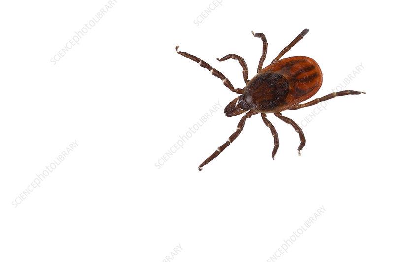 Deer tick carrier of Lyme disease