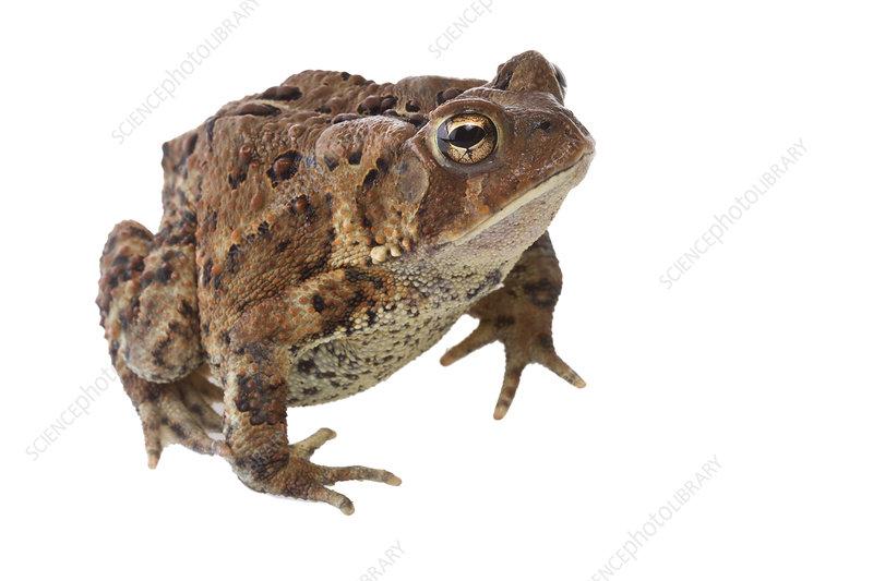 American toad Concord, Massachusetts, USA