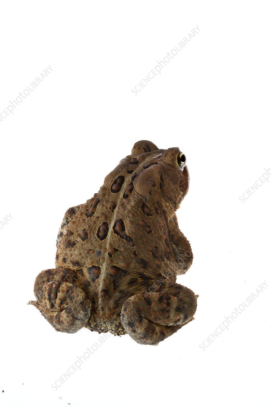 American toad rear view, Concord, Massachusetts, USA