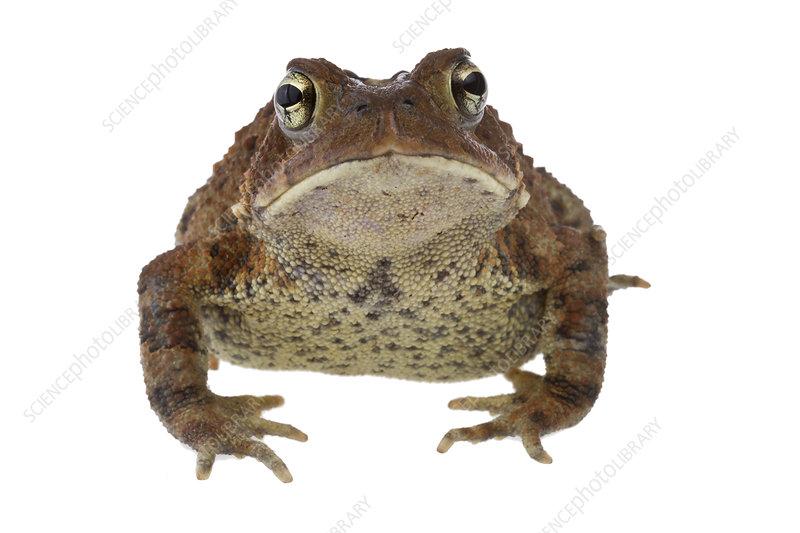 American toad portrait, Concord, Massachusetts, USA