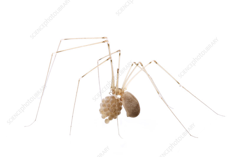 Longbodied cellar spider female with egg case