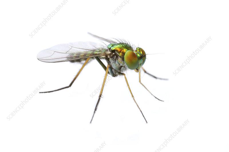 Long legged fly Concord, Massachusetts, USA