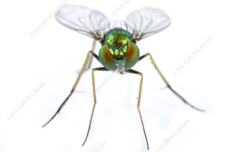 Long legged fly portrait, Concord, Massachusetts, USA