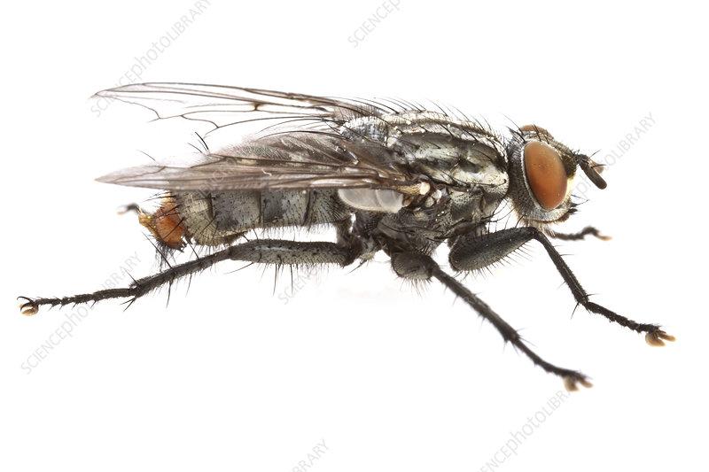 Flesh fly profile, Concord, Massachusetts, USA