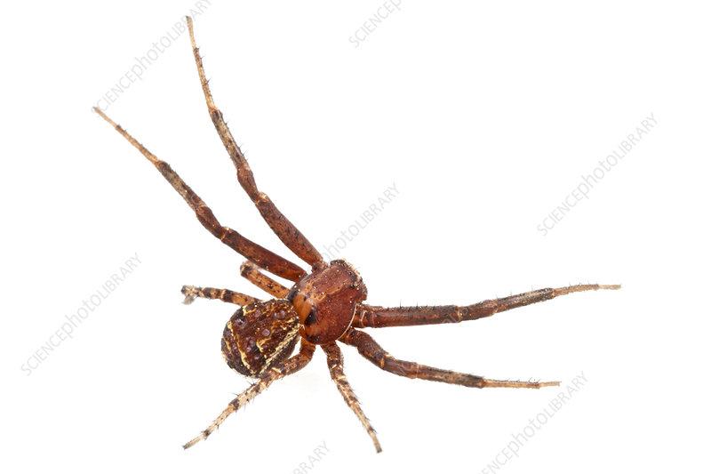 Ground crab spider Concord, Massachusetts, USA