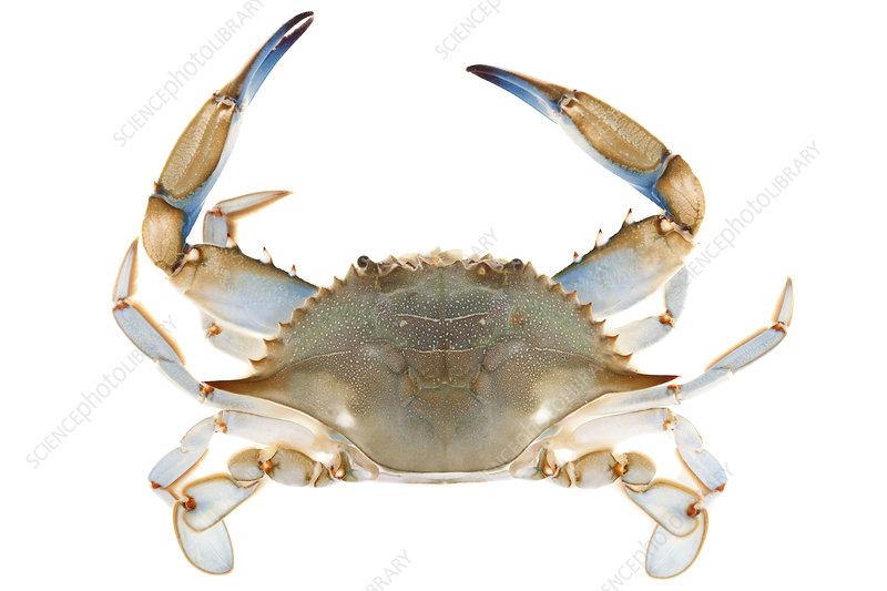 Blue crab dorsal view, Woburn, Massachusetts, USA