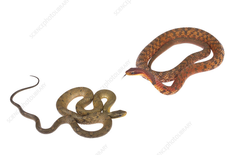 Chinese false cobra green male and red male colour morphs