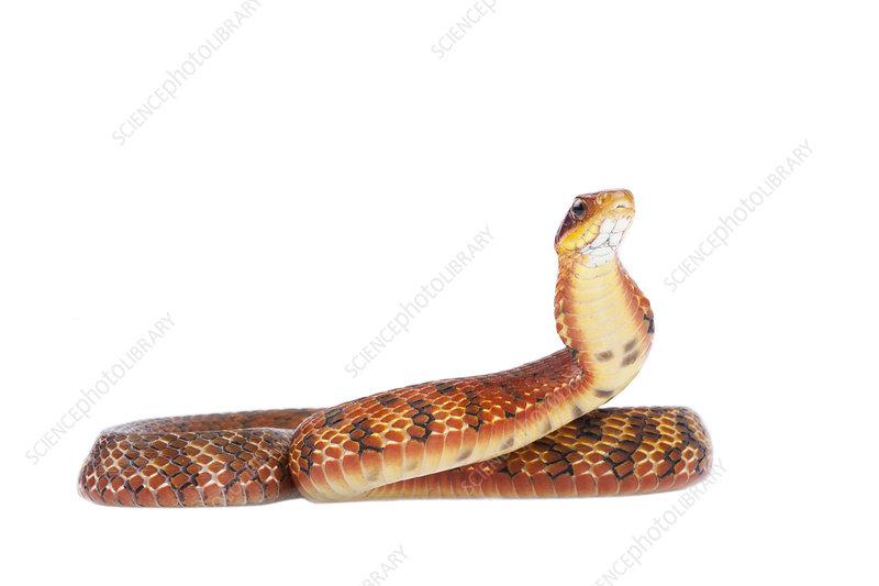 Chinese false cobra red male colour morph