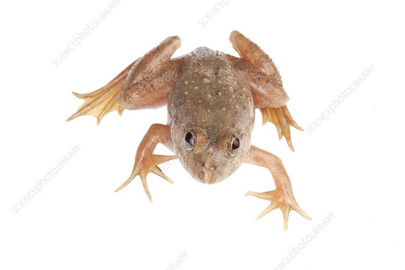 Pond frog, Talle Valley Sanctuary, Arunachal Pradesh, India
