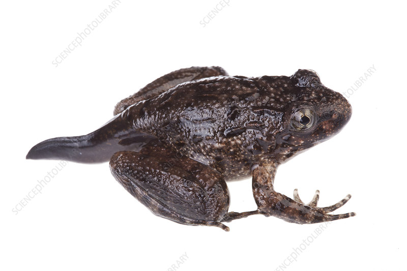 Skittering frog emerging from tadpole stage