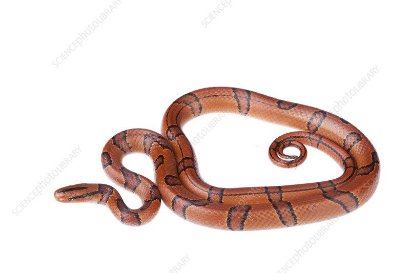 Bamboo rat snake