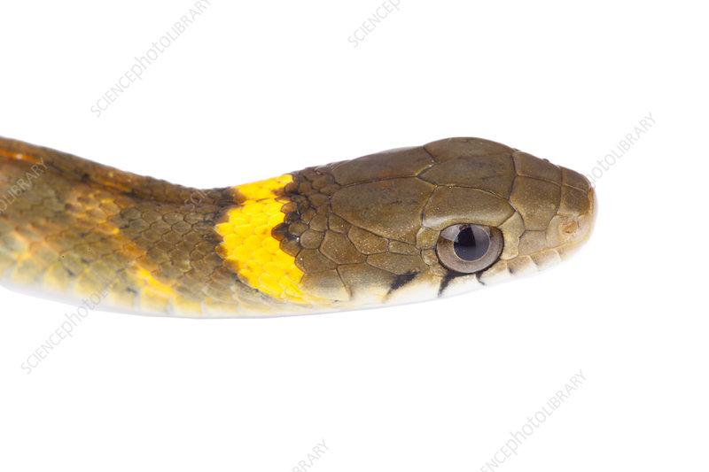 Head of Himalayan keelback snake