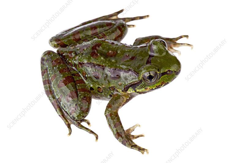 Frog, Talle Valley Sanctuary, Arunachal Pradesh, India