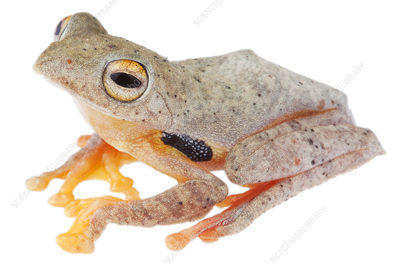 Twin spotted gliding frog