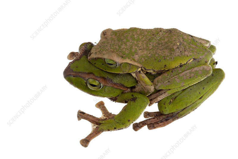 Tree frogs mating