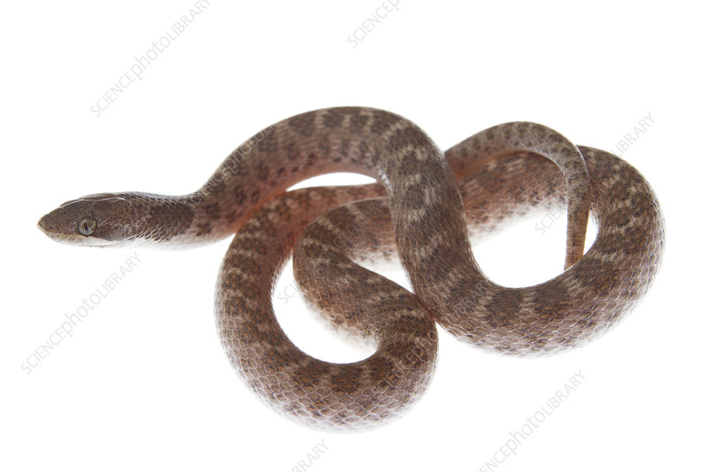 Texas night snake Rio Grande Valley, Texas, USA