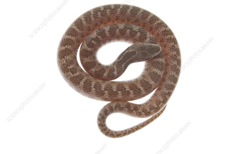 Texas night snake coiled, Rio Grande Valley, Texas, USA