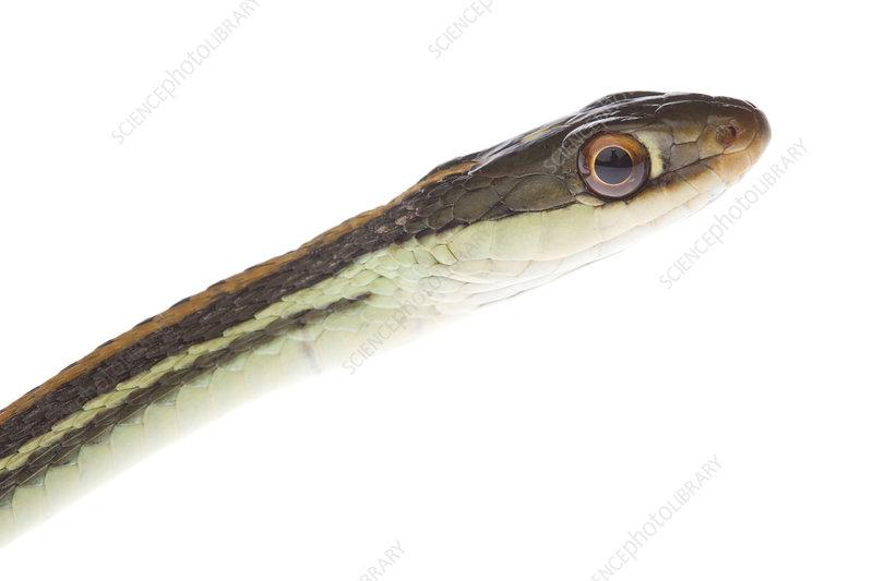 Gulf coast ribbon snake portrait