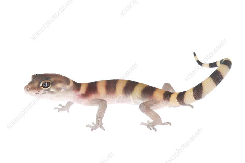 Texas banded gecko walking, Rio Grande Valley, Texas, USA