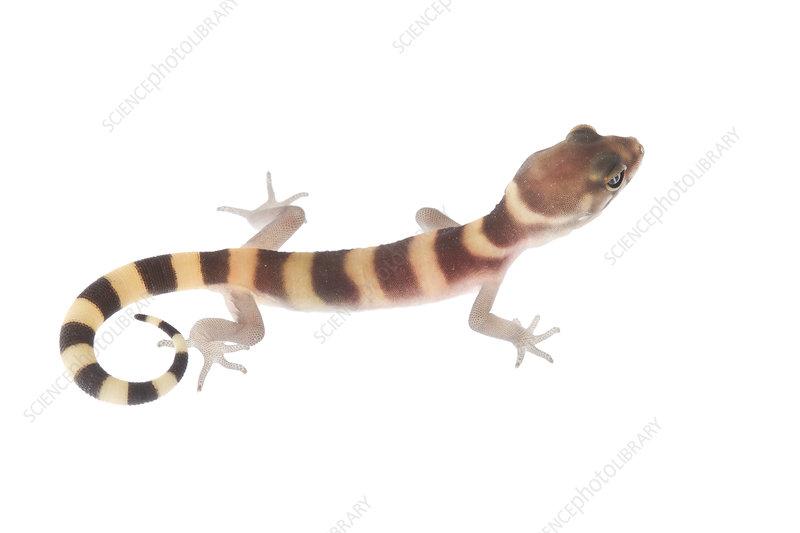 Texas banded gecko Rio Grande Valley, Texas, USA