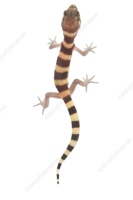 Texas banded gecko walking, Rio Grande Valley, Texas, USA