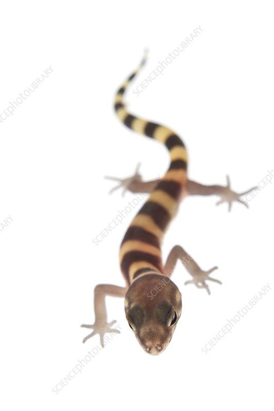 Texas banded gecko walking