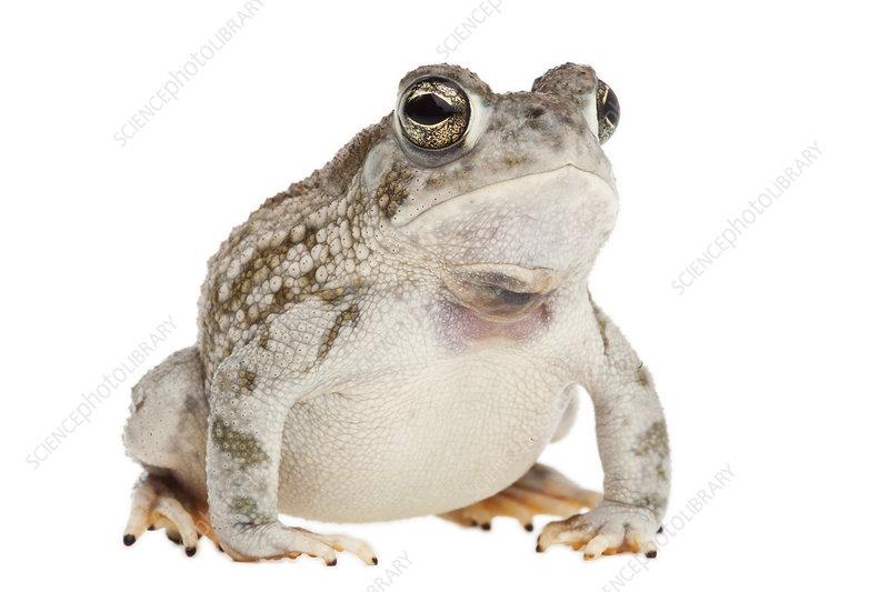 Texas toad Rio Grande Valley, Texas, USA