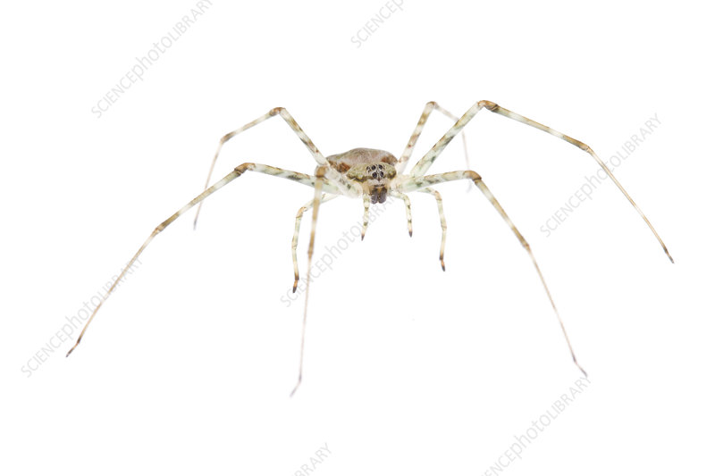 Mexican two-tailed spider