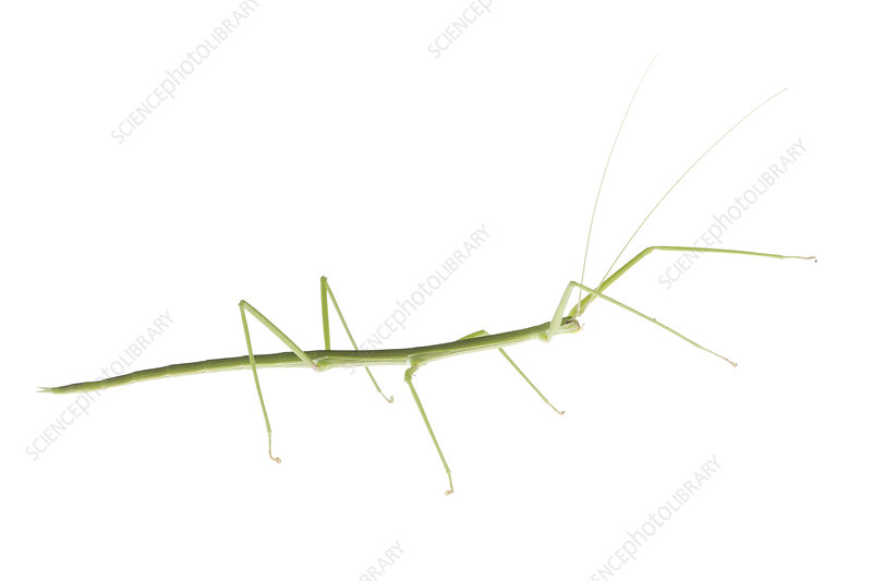 Walking stick insect