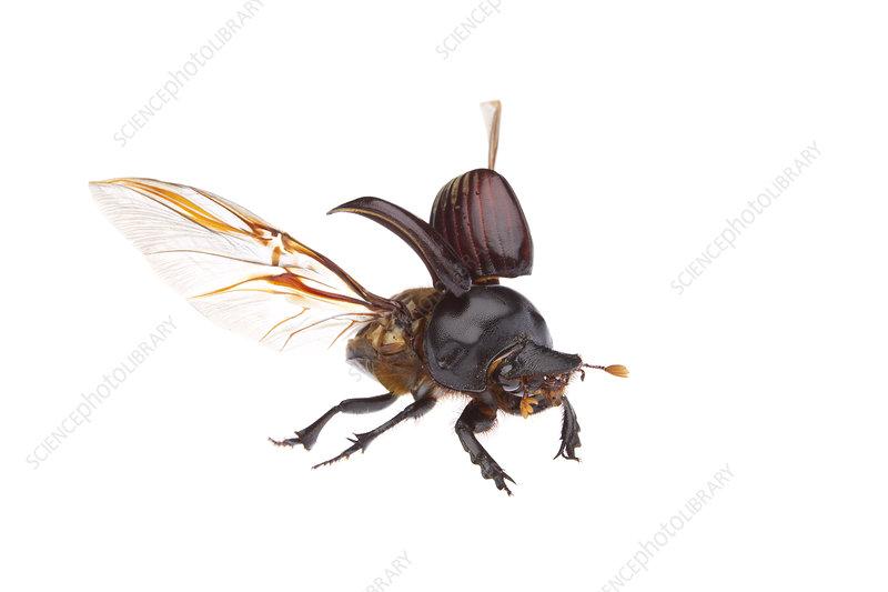 Dung beetle in flight