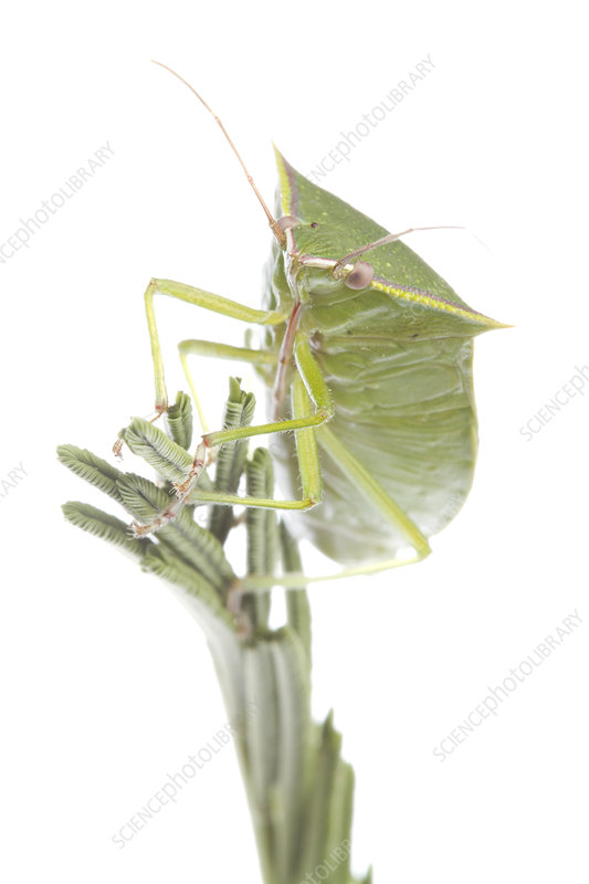 Shield Bug on plant